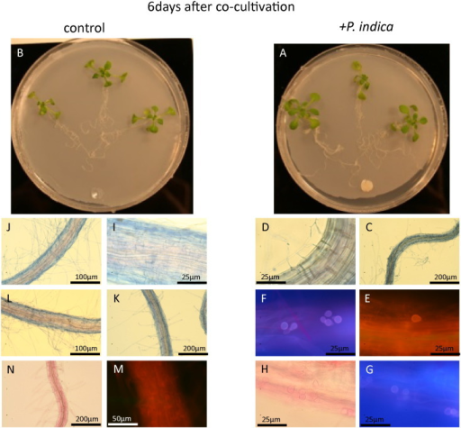 A. thaliana co-cultivation with P. indica (A, C–H) or mock-treated (B, I–N) after 6 days. Visible light and fluorescent microscopic view of A. thaliana root stained with trypan blue (C–E, I–K) and fuchsin acid (H, G, N, M) after 6 days of co-cultivation with P. indica (C–H) or mock-treated (I–M) as described in Vahabi et al. [6].