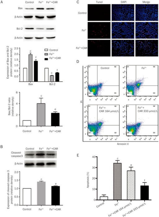 Carvacrol inhibits Fe2+-induced apoptotic cell death in SH-SY5Y cells. Fe2+(200 μmol/L, 24 h) caused a significant increase in the Bax/Bcl-2 ratio (A) and cleaved caspase-3 expression (B) in SH-SY5Y cells, which was significantly attenuated by carvacrol. (C) Representative images of DAPI staining and TUNEL assays used to analyze apoptotic cells (200×). (D) Apoptotic status was also determined using an Annexin V-FITC binding assay. (E) The rates of apoptosis. CAR, carvacrol. Mean±SD (n=3). cP<0.01 vs control; eP<0.05, fP<0.01 vs the Fe2+-treated group.