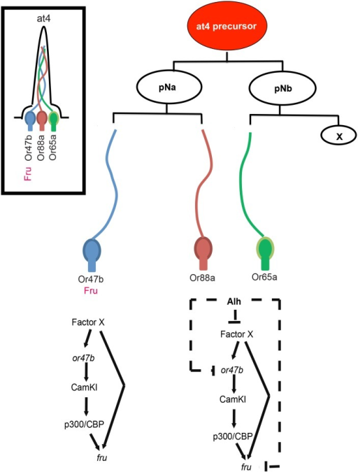 Regulatory feed forward loops establish and maintain fru expression in the olfactory system.A multipotent precursor cell divides asymmetrically to generate at4 ORN cell types. In Or47b ORNs, a factor X is required to coactivate both Or47b and fru expression during development. In Or65a and Or88a ORNs, Alh, either directly or indirectly through repression of X, is required to repress both Or47b and fru. Once Or47b and fru expression is established in Or47b ORNs, OR function maintains fru expression through p300/CBP.