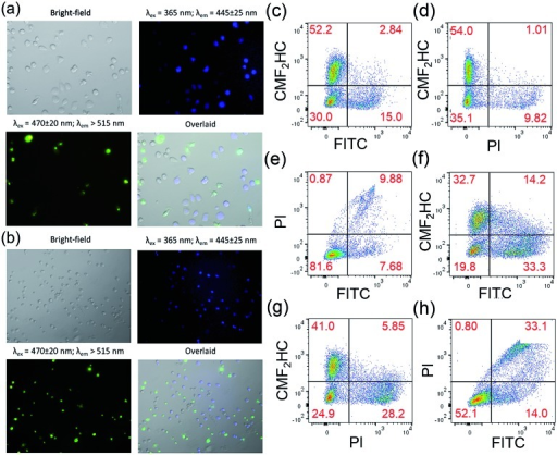 Fluorescence microscopy images of co-cultured HCT116 and NCM460 cells stained with CellEvent™ Caspase-3/7 Green ReadyProbes Reagent after incubation with 1 (2 μM) for (a) 24 h and (b) 36 h, respectively. Flow cytometric analysis of the co-culture model stained with CellEvent™ Caspase-3/7 Green Ready Detection Reagent (2.5 μM) after incubation with (c–e) 1 (2 μM) and (f–h) Au1a (2 μM) for 24 h. The NCM460 cells were pre-treated with blue-emissive CMF2HC dye for differentiation from HCT116 cells. The overlaid images were prepared using ImageJ.