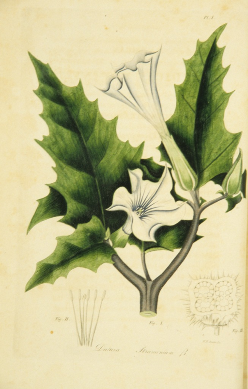 <p>Colored engraving of a floweing thorn apple.</p>
