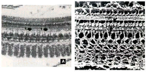 a and b: Two different views of the paraflagellar structure as seen in thin sections and in replicas of quick frozen, freeze-fracture and deep-etched cells.