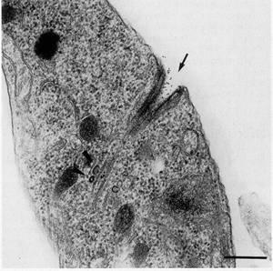 Thin section showing the initial internalization of proteins through the cytostome (arrow).