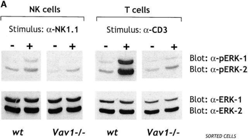 Vav1 controls ERK activation and granule exocytosis. (A) Purified NK and T cells were incubated with the indicated mAb and stimulated with cross-linking Abs. Cell lysates were immunoblotted with an mAb specific for the phosphorylated forms of ERK1/2. Total amounts of inactive ERK1/2 were assessed by polyclonal anti-ERK1/2. Stimulation with PMA generated comparable levels of phosphorylated ERK1/2 in wt and Vav1−/− cells. (B) Equal numbers of NK cells were stimulated with YAC-1 targets for 2 h and 30 min at 37°C. Supernatants were collected, and the specific release of esterase (granzyme A) was measured by using a BLT colorimetric assay, where the maximum release of esterase was obtained by freezing and thawing NK cells. Mean values ± SDs are shown from five independent experiments.