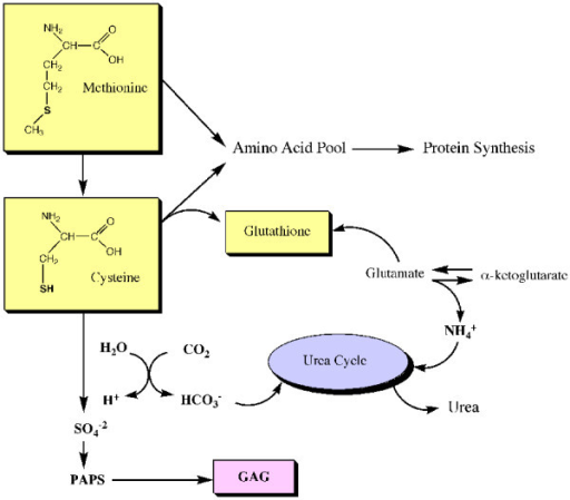 Simplified diagram that depicts the relationships between SAA, GAG synthesis, storage of cysteine as glutathione, protein synthesis and nitrogen metabolism.