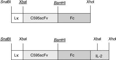 Expression cassettes coding for the recombinant anti-MUC1 fusion proteins C595scFv-Fc and C595scFv-Fc-IL2. The expression cassettes were generated as described in Materials and Methods. Lk: leader sequence of the Ig κ chain; C595scFv: anti-MUC1 scFv; Fc: IgG1 CH2CH3. The expression cassettes are driven by the RSV LTR.