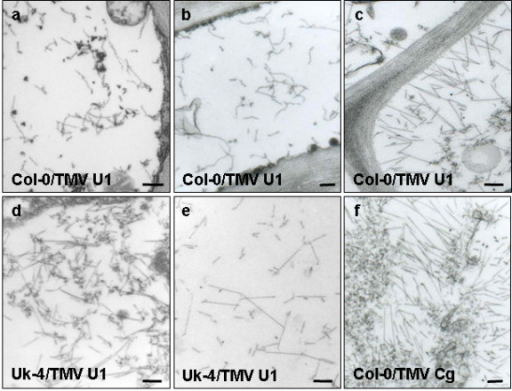 Curved TMV-U1 virions accumulate in the vascular tissues of infected Col-0 plants. Electron microscopy images of virus infected tissues in Col-0 and Uk-4 plants were taken at 18 dpi. Curved virions are evident in the vascular tissue of the stem (a) and petiole of apical leaves (b), but normal rigid rod virions appear in the mesophyll of apical leaves (c). Rigid rod virions appear in the stem (d) and petiole of apical leaves (e) in Uk-4 plants. An image of Col-0 vascular cells infected with the TMV-Cg strain was included as a control (f). Bars: 100 μm.