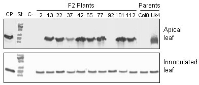 Systemic movement of TMV-U1 in the F2 population. Analysis of systemic movement by Western blot in several plants of the F2 population is exemplified. The TMV-U1 coat protein was detected in the inoculated rosette leaves of all plants analysed and in apical leaves of most plants. This analysis was carried out for each of the F2 plants that appear in Table 2. CP: coat protein, St: molecular weight standard, C-: negative control (non-inoculated leaves).