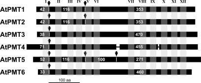 Comparison of the six Arabidopsis PMT proteins. Schematic alignment of the deduced protein sequences (black bars) of AtPMT1 to AtPMT6 based on the intron positions (arrows) in the respective genes. Grey vertical bars (I–XII) indicate the positions of the predicted transmembrane helices, thin lines show two small gaps in the AtPMT4 sequence. Numbers of amino acids encoded by the different exons are indicated (white).