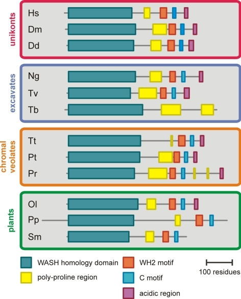 Domain topology diagrams of WASH orthologues from several organisms in each kingdom. The WASH homology domain is the largest region on the N-terminus that shows sequence similarity when comparing orthologues from different kingdoms. The regions in between domains show no sequence similarity when comparing orthologues across different kingdoms.