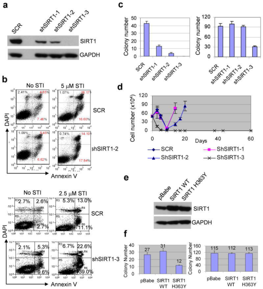 SIRT1 specific inhibition suppressed acquisition of BCR-ABL mutations(a) SIRT1 protein levels in KCL-22 cells after knockdown with 3 sets of SIRT1 shRNA. SCR, scrambled shRNA for control. (b) Effect of apoptosis induction in KCL-22 cells after SIRT1 knockdown using shSIRT1-2 or shSIRT1-3 with or without imatinib (STI). (c) Left, three days after shRNA transduction, one million SCR or shSIRT1 knockdown KCL-22 cells per plate were seeded in soft agar in triplicate with 5μM imatinib. At day 21, resistant colonies were scored. Right, plating control with 500 cells per well seeded in soft agar without imatinib. (d) Three days after shRNA transduction, one half million of SCR or shSIRT1 knockdown KCL-22 cells were treated with 5μM STI in triplicate and viable cells were counted at indicated days. (e) Over-expression of wild type or H363Y mutant SIRT1 in KCL-22 cells. The transduced cells were enriched by puromycin selection. (f) Left, Wild type or H363Y SIRT1 transduced cells were analyzed for BCR-ABL mutation frequency on imatinib by clonogenic assay as in c. Right, plating control as in c. pBabe was an empty vector control.