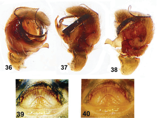 Copulatory organs of Eupoa lehtineni sp. n. from India. 36 male palp, median view 37–38 ditto, retrolateral view 39–40 epigyne, ventral view.
