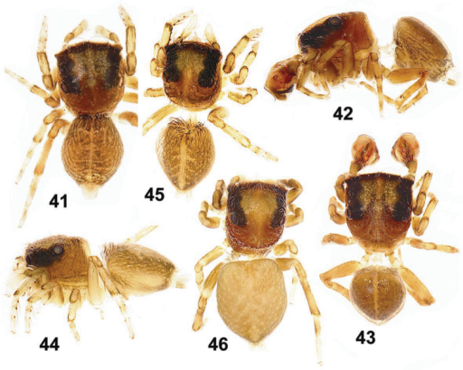 General appearance of Eupoa lehtineni sp. n. 41, 45–46 females, dorsal view 42 male, lateral view 43 ditto, dorsal view 44 female, lateral view. Specimens: 41–43 – India; 44–46 – Viet-Nam.