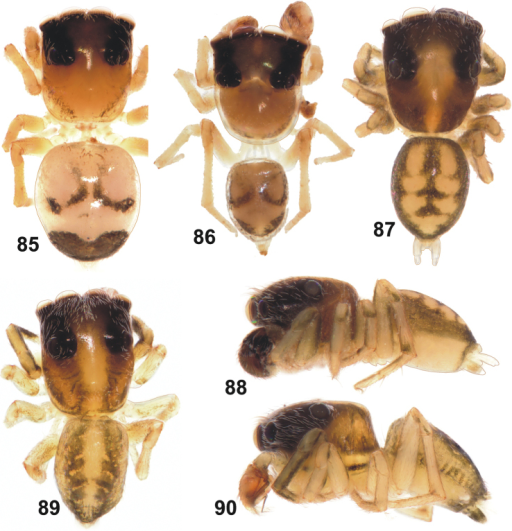 General appearance of Eupoa pulchella sp. n. (87–88, ♂ paratype), Eupoa schwendingeri sp. n. (♂ holotype, 89–90) and Eupoa thailandica sp. n. (♀ and ♂ paratypes, 85–86). 85 female body, dorsal view 86–87, 89 male body, dorsal view 88, 90 ditto, lateral view.
