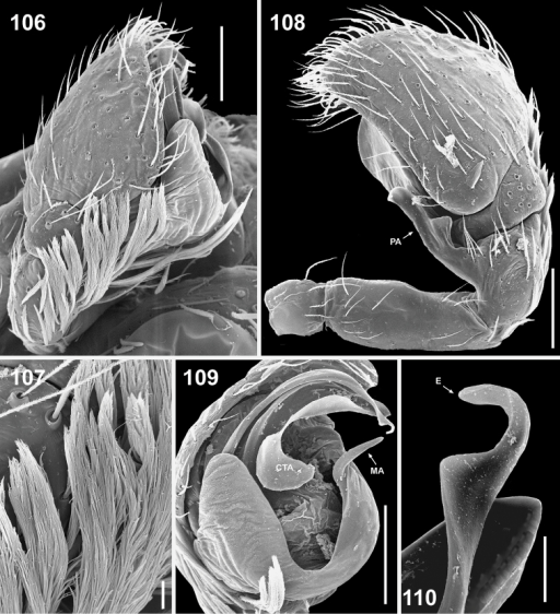 Copulatory organs of Eupoa thailandica sp. n. (♂ paratype). 106 male palp, median view 107 bunches of white hairs at the base of cymbium, median view 108 male palp, retrolateral view 109 ditto, ventral view 110 embolic tip, apical view. Abbreviations as explained in 'Material and methods'. Scale bars: 10 μm (107, 110), 0.1 mm (106, 108–109).