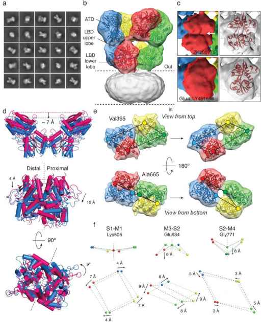 "Structural changes accompanying opening of GluA2a, Representative 2D class averages of GluA2em in the active state after initial classification of 31,637 projection images. b, GluA2em active state structure shown in isosurface representation, fitted with ATD dimers (PDB ID: 3KG2) and glutamate-bound LBD dimers (PDB ID: 1FTJ) with the transmembrane region covered by micellar density. c, Density maps for a single subunit showing the visible difference between the antagonist-bound open cleft conformation (top) and the glutamate-bound closed cleft conformation (bottom) of the LBD ""clamshell""; the right-hand panel shows the corresponding coordinate fits. d, Ribbon and cylinder diagrams for GluA2 coordinates fit to the closed (magenta) and active (blue) states reveal a ~ 7 Å downward displacement of the ATD in the active state (top), with proximal and distal subunit LBD dimer assemblies viewed perpendicular to (middle) and parallel to (bottom) the membrane. Black dashed lines show the approximate planar interface between subunits in the dimer assembly. e, Isosurface views of LBD tetramer region density maps fit with LBD dimers in closed (left) and active (right) states. Colored dots identify the locations of Cα atoms for Val395 (upper lobe) and Ala665 (lower lobe). f, Movement of the S1-M2 linker (Lys505), M3-S2 linker (Glu634), and S2-M4 linker (Gly771) shows how LBD tetramer movements drive channel opening; arrows show the direction of movement from closed to active states."