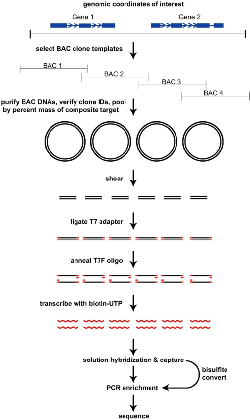 Overview of the clone adapted template capture hybridization sequencing procedure.BAC clone templates are selected to span genomic coordinates of interest, and pooled by percent mass of the composite target. BACs are sheared, ligated with T7 adapters to transcribe biotinylated RNA probes, and then solution hybridized with prepared libraries. Following capture, libraries are amplified by PCR, or bisulfite converted prior to amplification for analysis of DNA methylation. Target enriched libraries are pooled and sequenced.