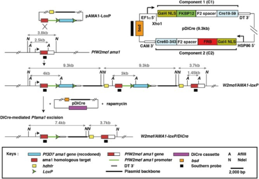 Schematic for the sequential generation of W2mef/AMA1-loxP and W2mef/AMA1-loxP/DiCre parasites. In the first transfection, the gene for Pfama1 in W2mef was genetically disrupted and complemented with a codon-altered 3D7 Pfama1 gene using the pAMA1-loxP plasmid. The main features of pAMA1-loxP are a homologous target sequence for recombination followed by a W2mef promoter sequence and a 'floxed' 3D7 Pfama1 gene. A hdhfr selectable drug cassette, which confers resistance to the antifolate WR99210, was used to select for transfectants. Homologous integration of two tandemly arranged pAMA1-loxP plasmids into the W2mef AMA1 locus resulted in a duplication of the 3D7 Pfama1 gene. The architecture of the modified locus is shown along with AflIII and NdeI restriction sites used for Southern blot analysis. Sizes of the digested DNA fragments are shown in kilobase (kb). W2mef/AMA1-loxP parasites were cloned by limiting dilution. In the second transfection, DiCre was introduced into a W2mef/AMA1-loxP clone using the pDiCre plasmid. The expression casette of pDiCre is shown in the boxed insert (top right). The N- and C-terminus fragments of Cre recombinase are driven by the bi-directional P. berghei EF1α promoter and hsp86 promoter respectively with both Cre fusions placed in a head-to-tail orientation. Transcription termination is modulated by 3′ UTR sequences of P. berghei dihydrofolate reductase-thymidylate synthase (DT 3′) and P. falciparum calmodulin (CAM 3′) genes. In the DiCre system, Cre recombinase is fused to an F2 linker and either the FKBP12 or FRB sequence to induce dimerization in the presence of rapamycin. We have included a Gal4 nuclear localization signal to target the DiCre fusion proteins to the nucleus once expressed and a bsd resistance marker, which confers resistance to blasticidin. The predicted modification of the Pfama1 locus following DiCre-mediated Pfama1 excision is shown along with the restriction digest sizes.