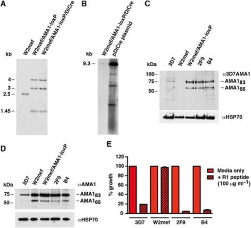 W2mef/AMA1-loxP and W2mef/AMA1-loxP/DiCre parasites are complemented with the 3D7 AMA1 protein.A. Southern blot indicates that two copies of pAMA1-loxP have integrated into the W2mef Pfama1 locus leading to a duplication of the heterologous 3D7 Pfama1 gene. The 4 and 3 kb AflIII fragments indicate the first and second copy of the full-length integrated plasmid (see Fig. 1). Both 4 and 3 kb signals have equal intensity on the Southern blot, indicating that copy numbers are identical (i.e. 1:1 ratio). The 1.45 kb signal signifies the 3′ end of the modified locus where the second plasmid re-joins the endogenous, disrupted W2mef Pfama1 gene. This signal is a single copy fragment hence it is used as DNA loading control for each track.B. Southern blotting using XhoI restriction enzyme confirms the presence of the 9.3 kb full-length pDiCre plasmid in W2mef/AMA1-loxP/DiCre parasites.C. Immunoblot analysis of late-schizont extracts probed with the specific anti-3D7 AMA1 mAb 3A2 showing the two most abundant forms of AMA1: the 83 kilodalton (kDa) precursor, AMA183 and the 66 kDa processed form, AMA166. The result shows that complementation with 3D7 AMA1 protein has occurred in W2mef/AMA1-loxP and W2mef/AMA1-loxP/DiCre clonal lines (2F9 and B4).D. A polyclonal PfAMA1 antibody detected PfAMA1 signals from all tracks including parental W2mef confirming the result of the previous immunoblot.E. Parental and transgenic parasites were grown in media +/− R1 peptide. R1 peptide binds specifically to 3D7 PfAMA1 but not W2mef PfAMA1. Complementation of W2mef/AMA1-loxP/DiCre parasites with a functional 3D7 PfAMA1 protein is evident as R1 peptide significantly inhibited growth of 3D7, 2F9 and B4 parasites but not W2mef (n = 2 experiments with each done in triplicate). Error bars indicate standard deviation (SD).