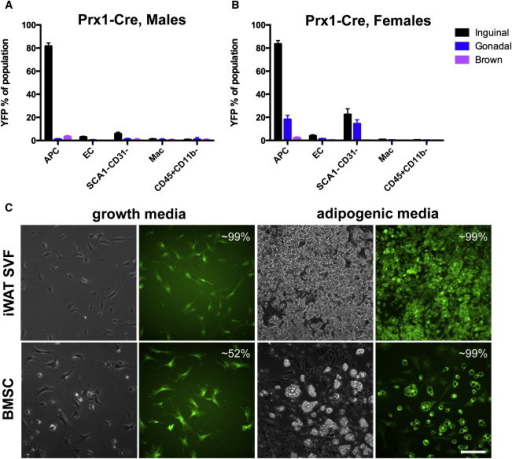 Prx1-Cre Recombinase Activity in Adipose Stromal Populations and in Cultured Cells(A) Flow cytometry profile of Prx1-Cre;Rosa-EYFP male mice (n = 3), where each n is one animal.(B) Flow cytometry profile of Prx1-Cre;Rosa-EYFP female mice (n = 3), where each n is one animal. Data are represented as mean ± SEM.(C) Expression of EYFP in cultured cells, prior to or after adipogenic induction. The estimated percentage of EYFP+ cells or adipocytes is indicated. Scale bar represents 0.2 mm.Mac, macrophage.