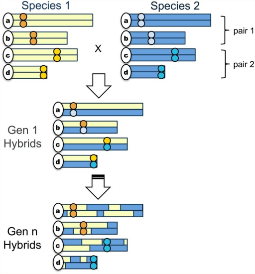 "Schematic of the simplest ""hybrid speciation by genetic incompatibility"" scenario.The simplest model hybrid reproductive isolation evolves in a hybrid swarm (S3 Fig.) via fixation of parental genetic incompatibility pairs in opposite directions. Circles indicate the location of incompatibility pairs on chromosomes; yellow shading indicates regions derived from species 1 while blue shading indicates regions derived from species 2. In the first generation, assuming random mating, 50% of individuals will be F1 hybrids if both species contribute equally to the hybrid population. In subsequent generations, recombination will break up ancestry blocks and selection will drive the fixation of parental genotypes at incompatibility loci. In some proportion of cases, incompatibility pairs will fix for opposite parental species genotypes."
