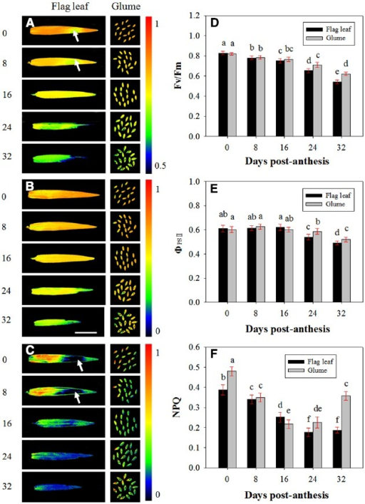 Fluorescence imaging of the maximal efficiency of PSII photochemistry (Fv/Fm, A, D), actual PSII efficiency (ΦPSII, B, E) and non-photochemical quenching (NPQ, C, F) of flag leaves and glumes in wheat (Triticum aestivum var. Jimai 22) during grain filling. The measurements were performed at 0, 8, 16, 24, and 32 DAA. The data were determined in the year 2013. Each value is the mean ± SD from at least six leaves or 30 glumes. The columns labeled with different letters differed significantly at P < 0.05 according to Duncan's multiple range test using DPS software.