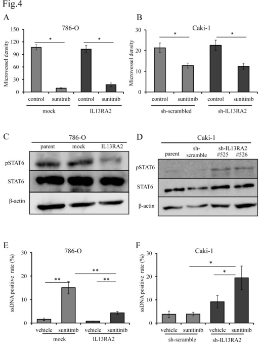 Evaluation of apoptosis and microvessel density after sunitinib treatment in xenograft model derived from cell lines.MVD was decreased by sunitinib treatment of each xenograft tumor derived from (A) 786-O or (B) Caki-1 subclones regardless of IL13RA2 expression level. MVD was determined from CD31 staining using Image J software. Statistical analysis was performed using the Students' t-test (*P < 0.01). Immunoblot analysis of (C) 786-O subclones and (D) Caki-1 subclones. IL13RA2 expression was negatively correlated with the phosphorylation of STAT6. Whole cell extracts were immunoblotted using the indicated antibodies. ssDNA staining of xenograft tumors derived from (E) 786-O subclones and (B) Caki-1 subclones treated with sunitinib or vehicle only. Apoptosis was assessed by calculating the ssDNA positivity rate. Statistical analysis was performed using the Students' t-test (*P < 0.05, **P < 0.01).