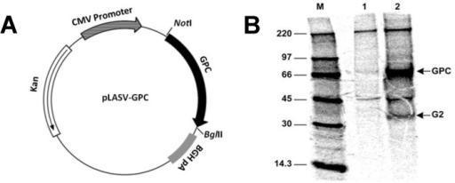 plasmid map and immunoprecipitation and polyacrylamide