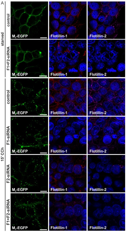 Knockdown of flotillin-1 and flotillin-2 has no impact on M2 receptor internalization. (A) HEK 293T cells were depleted of flotillin-1 (F1), flotillin-2 (F2) or both (F1 + F2) by specific siRNAs and transfected with M2-EGFP. The cells were starved for 18 h in serum-free medium and either left untreated or stimulated with 1 mM CCh for 15 min. Cells were fixed and immunostained for flotillin-1 and flotillin-2. The nuclei were stained with DAPI (shown in blue). Scale bars: 10 μm; (B) The fraction of cells displaying M2 receptor internalization was quantified and is shown as the percent of cells showing intracellular M2 localization. At least 100 cells were counted per condition. Results are shown as the mean ± SD. Statistical analysis was performed with two-way ANOVA; (C) Equal amounts of cell lysates were separated by SDS-PAGE and immunoblotted to monitor the knockdown efficiency.