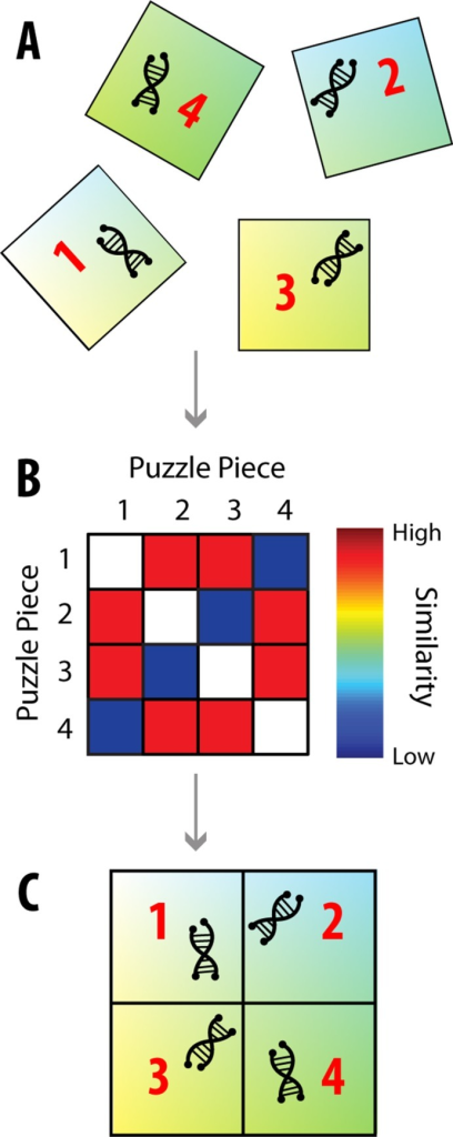 Puzzle Imaging.There are many properties, such as genetic information, that are easier to determine when the original spatial information about the sample is lost. However, it may be possible to still image these properties using relative spatial information. (A) As an example, let us say that each piece of genetic information is attached to a puzzle piece. While the puzzle pieces don't provide absolute spatial information, they provide relative spatial information: we know that nearby pieces should have similar colors, so we can use color similarity to determine how close puzzle pieces should be to one another. (B) We can make a similarity matrix of the puzzle pieces, which states how similar the puzzle pieces' colors are to each other, and thus how close the pieces should be to one another. (C) Through dimensionality reduction techniques, this similarity matrix can be used to map each puzzle piece to its correct relative location.