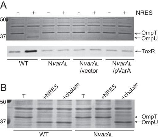 (A) The NvarAL mutant did not increase OmpU or ToxR levels in response to NRES. This phenotype could not be complemented with pVarA, suggesting a suppressor mutation. Strains N16961 (WT), NvarAL, NvarAL/pWKS30 (vector control), and NvarAL/pVarA (complemented strain) were grown overnight in LB broth and then subcultured 1:100 into T medium with or without 12.5 mM NRES mix. Cells were harvested in the mid-log phase, and whole-cell preparations were resolved by SDS-PAGE (10%) and stained by Coomassie blue (top panel) or immunoblotted using polyclonal anti-ToxR antisera (bottom panel). (B) The NvarAL strain did not have an inherent defect in OmpU production, since OmpU was made exclusively in response to the bile acid cholate. Strains N16961 (WT) and NvarAL were grown overnight in LB broth and then subcultured 1:100 into T medium with or without 0.1% cholate. Cells were harvested in the mid-log phase, and whole-cell preparations were resolved by SDS-PAGE (10%) and stained with Coomassie blue to visualize the OMPs.