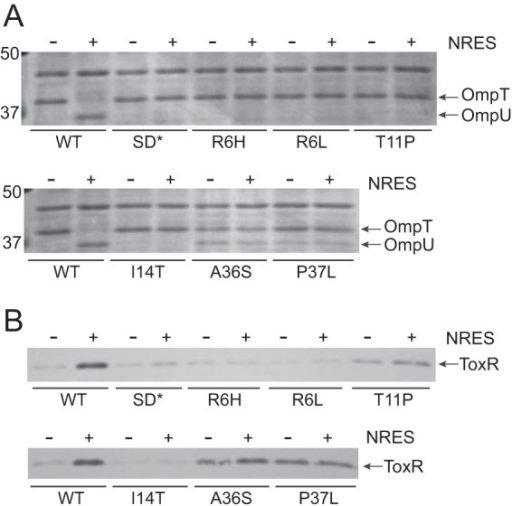 The NvarAL suppressor strains show abnormal responses to the NRES mix. Strains are labeled according to the csrA suppressor mutation present, but all mutant strains additionally carry the ΔvarA::cam mutation. Strains N16961 (wild type [WT]), NvarAL-00 (SD*), NvarAL-1 (R6H), NvarAL-2 (R6L), NvarAL-3 (T11P), NvarAL-4 (I14T), NvarAL-6 (A36S), and NvarAL-7 (P37L) were grown overnight in LB broth and then subcultured 1:100 into T medium with or without 12.5 mM NRES mix. Cells were harvested in mid-log phase, and whole-cell preparations were resolved by SDS-PAGE (10%) and stained by Coomassie blue (A) or immunoblotted using polyclonal anti-ToxR antisera (B).