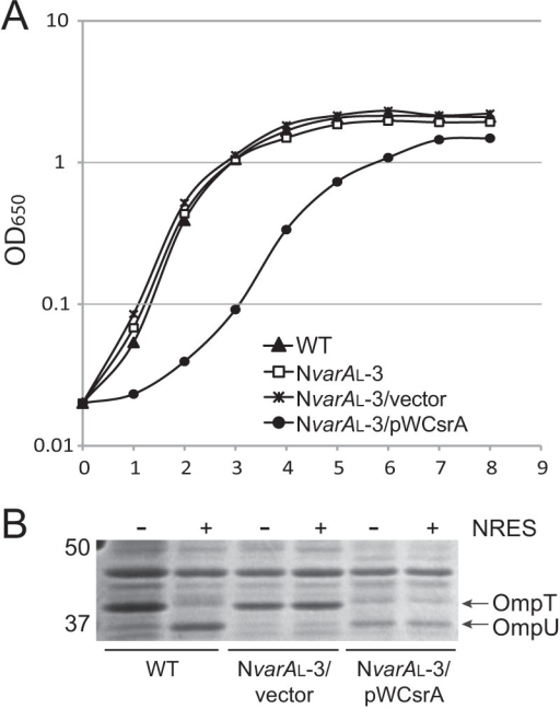 An NvarAL suppressor mutant cannot be complemented by supplying wild-type csrA on a plasmid. Expression of wild-type CsrA in the absence of functional VarA is toxic to the cells, and leads to production of OmpU in the absence of NRES. (A) Strains N16961 (WT), NvarAL-3 (ΔvarA::cam csrA.T11P), NvarAL-3/pWKS30, and NvarAL-3/pWCsrA were grown overnight in LB broth and then subcultured 1:100 into fresh LB broth and grown to the stationary phase. (B) Strains N16961 (wild type [WT]), NvarAL-3/pWKS30, and NvarAL-3/pWCsrA were grown overnight in LB broth and then subcultured 1:100 into T medium with or without 12.5 mM NRES mix. Cells were harvested in the mid-log phase, and whole-cell preparations were resolved by SDS-PAGE (10%) and stained by Coomassie blue.