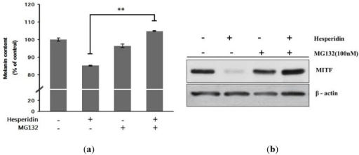 Effect of co-treatment with hesperidin and MG132 (protease inhibitor) on (a) melanin contents and (b) MITF protein expressions in B16F10 cells. Cells were incubated with MG132 with or without hesperidin. Melanogenesis-related protein expressions were analyzed by Western blot. Each percentage value for the treated cells was reported relative to that in α-MSH-stimulated cells. Data were expressed as mean ± SD of three independent experiments carried out in triplicates. ** p < 0.01 as compared to the one treated with hesperidin (30 μM) only.