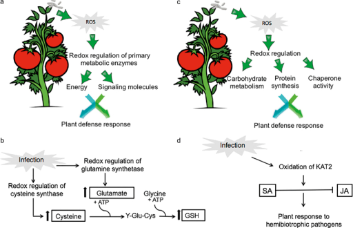 The role of redox regulation in plant defense response. (a) Role of redox regulation of primary metabolic enzymes in plant defense response at early stage of infection. Redox regulation may serve as an activity switch to turn on or off the different connections between primary metabolism and defense response, playing a role in energy as well as signaling to directly or indirectly trigger defense responses. (b) Role of cysteine synthase oxidation and GS in plant defense response. Cysteine is the sulfur amino acid precursor of GSH, which plays a crucial role in maintaining cellular redox homeostasis. Oxidation of cysteine synthase may cause an increase in enzyme activity, leading to synthesis of more cysteines and further increase in the amount of GSH. Glutamate is a precursor of GSH and glutamine. Oxidation of GS decreases its activity, leading to less glutamine. This may cause an increase in the availability of glutamate for GSH production. (c) Role of redox regulation of enzymes belonging to carbohydrate metabolism, protein synthesis, and chaperone activity in plant defense response. It is likely that a synchronized interaction between sugar and hormonal signaling pathways leads to effective immune responses. Redox regulation of proteins of carbohydrate metabolism might affect apoplastic sugar levels, through which SAR is regulated. Redox regulation of proteins involved in protein synthesis may regulate enzyme activity in protein synthesis, which is an energy-consuming process, and therefore it is considered an important regulation step in stress responses. Oxidative stress is known to enhance misfolded proteins in the endoplasmic reticulum (ER), causing ER stress or unfolded protein response where proteins with chaperone activity play a crucial role. (d) Role of oxidation of KAT2 in the antagonistic interaction between SA and JA. Oxidation of KAT2, which is one of the three core enzymes that catalyze β-oxidation of JA synthesis, may lead to inactivation of KAT2.
