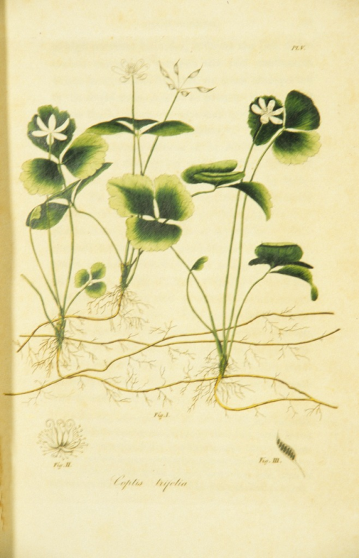 <p>Colored engraving of a flowering gold thread.</p>
