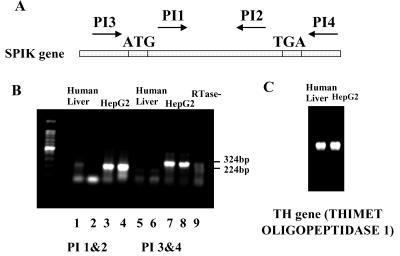 RT-PCR detects SPIK RNA. 1μg RNA from HepG2 cells and human liver cells were reversely transcripted and amplified by PCR using specific primer for SPIK. PCR bands were resolved in 1 % agarose gel and stain with ethidium Bromide. A: The names and location of primers. B: RT-PCR results. Lanes 1 to 4 were amplified with primers PI1/PI2; 5 to 8 were amplified with primers PI3/PI4. The samples from human liver cells were loaded in the column 1,2,5,6, (duplicated). The samples from HepG2 were loaded in the lane 3,4,7,8. Lane 9 was negative control without RTase. The specific SPIK bands are indicated by molecular weight. The lower bands in B are dimmer of primers. C: RT-PCR detection of TH gene of the human liver cells and HepG2 cells.
