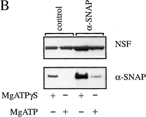 α-SNAP (1–285) and α-SNAP (L294A) associate with but are unable to support dissociation of the 20S complex. (A) A detergent extract of rat brain membrane proteins was incubated with 15 μg of NSF, 30 μg α-SNAPs for 30 min with 0.5 mM MgATP or  MgATPγS as indicated at 4°C. Proteins were immunoprecipitated with an antisyntaxin antibody conjugated to protein G–Sepharose,  and bound proteins were solubilized with SDS sample buffer and separated on a 12.5% polyacrylamide gel. Proteins were detected using specific antisera to NSF, α-SNAP, syntaxin, and VAMP. (B) Extracts were incubated without (control) or with added α-SNAP and  with 15 μg NSF in the presence of 0.5 mM MgATP or MgATPγS as indicated. Endogenous α-SNAP in control incubations was sufficient to recruit exogenous NSF. (C) Extracts were incubated with NSF with no added α-SNAP (control) or with added α-SNAPs as indicated. The presence of VAMP in syntaxin immunoprecipitates was determined by immunoblotting, and the amount of VAMP dissociated in the presence of MgATP was calculated as a percentage of the amount of bound VAMP in MgATPγS incubations.The data  shown are the mean values from two experiments.
