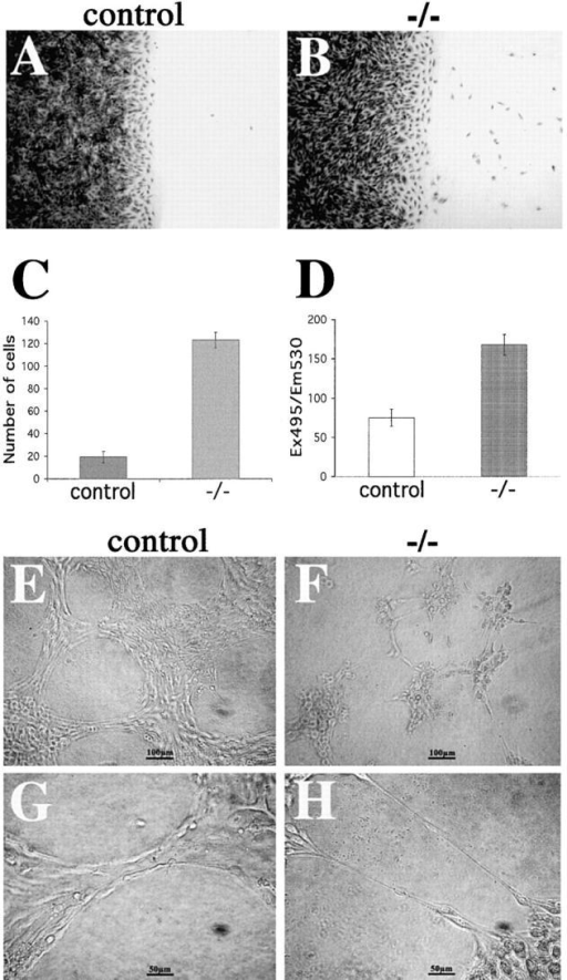 Cell–cell adhesion strength in control and mutant endothelial cells. (A–C) Analysis of endothelial cell migration into a wound. Crystal violet staining of control (A) and β-catenin −/− (B) endothelial cells 8 h after mechanical wounding of the monolayer. C reports the number of migrating single cells into the wound at 8 h. (D) Permeability across endothelial cell monolayers. β-Catenin −/− confluent endothelial cells show a higher passage of FITC-dextran as compared with the control cells. In C and D, columns represent means ± SEM of quadruplicates of a typical experiments out of three performed. (E–H) β-catenin– endothelial cells (−/−) form only small, disorganized aggregates interconnected with thin, single-cell elongations on Matrigel™ matrix (G and H), whereas control endothelial cells are able to organize into aggregates and bundles and show a typical cordlike structure on Matrigel™ matrix (E and F).
