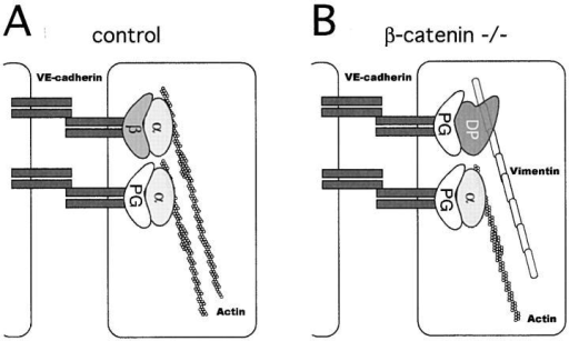 Proposed model for the molecular reorganization of endothelial intercellular junctions in the absence of β-catenin. (A) In the presence of β-catenin (β), α-catenin (α) is normally expressed at cell–cell junctions and connects VE-cadherin/β-catenin or VE-cadherin/plakoglobin (PG) complex to actin cytoskeleton. (B) In the absence of β-catenin, the decrease in α-catenin, accompanied by increase in desmoplakin (DP), may lead to a shift from α-catenin and actin based junctions to desmoplakin and vimentin-based complexus adhaerentes.