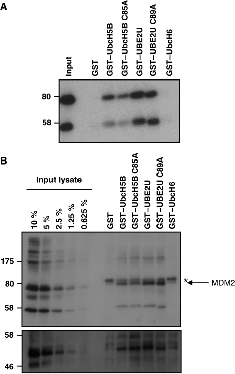 UBE2U physically interacts with MDM2. (A) HEK293T cells were transiently transfected with myc-tagged MDM2, lysed and incubated with GST–E2s immobilized on gluthathion-agarose beads. Bound material was resolved on 7.5% SDS–PAGE and proteins were visualized after immunoblotting with antibodies against myc. (B) Untransfected U2OS cells were lysed and combined with GST–E2s as in panel A. Immunoblotting was carried out using MDM2 antibodies (upper panel) and using p53 antibodies after reprobing (lower panel). Arrow indicates MDM2 signal, asterisk indicates background band.
