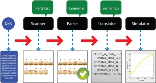 Workflow of generating the gene network model encoded in a DNA sequence.The input for this process is a DNA sequence that is first broken down into parts by the scanner. The combination of the parts is validated by the parser according to a syntactic model. After validation by the parser, the sequence is translated by applying semantic actions attached to the rules to transform the series of parts into a set of chemical equations. The resulting equations can then be solved using existing simulation engines. Each step takes the output of the previous step as input, so the workflow can start from any step if the appropriate input is provided.