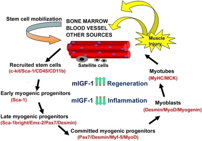 Model of stem cell-mediated muscle regeneration. (modified from ref. 18).                                            Muscle injury involves the activation of satellite cells and the                                            recruitment of circulating stem cells, which when penetrating the muscle                                            compartment receive myogenic signals and may contribute to muscle                                            regeneration and repair. This process is enhanced by mIGF-1 expression. By                                            modulating the inflammatory response and reducing fibrosis, supplemental                                            mIGF-1 creates a qualitatively different environment for sustaining more                                            efficient muscle regeneration and repair.