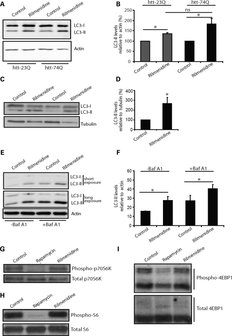 Rilmenidine enhances autophagy in wild-type mice. (A) Endogenous LC3-II levels were measured in stable inducible PC12 cells 48 h after switching on expression of either huntingtin exon 1 with 23 polyglutamine repeats (htt-23Q) or 74 polyglutamine repeats (htt-74Q) in the presence or absence of rilmenidine (for the final 24 h). Actin was used as a loading control. (B) LC3-II levels were measured using fluorescent intensity of the bands by Li-Cor Odyssey. Results are shown as a percentage of control in each individual cell line (n = 5, *P < 0.05 by t-test). The increase in LC3-II levels in rilmenidine treated, htt-74Q is not significantly greater than in htt-23Q treated cells, and possible differences may be due to variations between the clonal cell lines used. (C) LC3-II levels in muscle lysates from rilmenidine-treated and placebo-treated wild-type mice after 24 weeks of treatment. Western blots were also probed for tubulin as a loading control (D) Densitometric analysis of LC3-II-levels relative to tubulin. Control condition is set to 100%. Error bars show SEM (*P = 0.036, t-test, n = 4 for rilmenidine, n = 5 for control). (E) In cultured primary cortical neurons, LC3-II levels were assessed by western blot. Two exposures are shown to allow comparison of weaker bands in non-bafilomycin A1-treated lanes (−Baf A1) and stronger bands in bafilomycin A1-treated lanes without saturation. (F) Densitometric quantification of LC3-II levels relative to actin in triplicate experiments. (*P < 0.05 by t-test). Effect of rilmenidine treatment on phosphorylation of downstream mTOR targets was investigated by western blotting, (G) phosphorylated p70 S6 kinase levels, (H) phosphorylated S6 ribosomal protein and (I) phosphorylated 4EBP1. In these experiments, rapamycin treatment was used as a control for the inactivation of mTOR where the effects of treatment can be clearly seen.