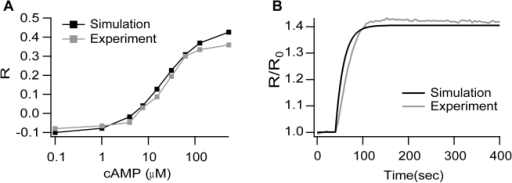 FRET signal as a function of cAMP concentration.(A) Steady state dose-response simulation (black) and experimental (gray) curves show excellent agreement. Ordinates are background-subtracted FRET emission ratio changes, ΔR, measured relative to the prestimulus ratio R(0). (B) Time course of simulated and experimental FRET signal shows excellent agreement. FRET ratio trace obtained by delivery of 30 µM cAMP to cell under whole-cell recording conditions. All experiments were performed in HeLa cells transfected with H30 (acquisition conditions: 1 frame/5 s). The microscope was equipped with a CCD camera (Sensicam QE; PCO), a software-controlled monochromator (Polychrome IV; TILL Photonics), and a beam-splitter optical device (Multispec Microimager; Optical Insights).