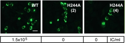 DENV E H244A mutation inhibits virus infection.RNAs derived from the WT and E H244A mutant DENV1 WP infectious clones were electroporated into BHK cells. Cells were cultured for 3 d and infected cells were detected by immunofluorescence. In parallel, cells were cultured at 28°C for 6 d and progeny virus in the culture medium was quantitated using infectious center assays on indicator BHK cells. Progeny virus titers are shown in the box below each fluorescence image. Results are given for two independent infectious clones of H244A, indicated as (2) and (4). Bar represents 30 µm.