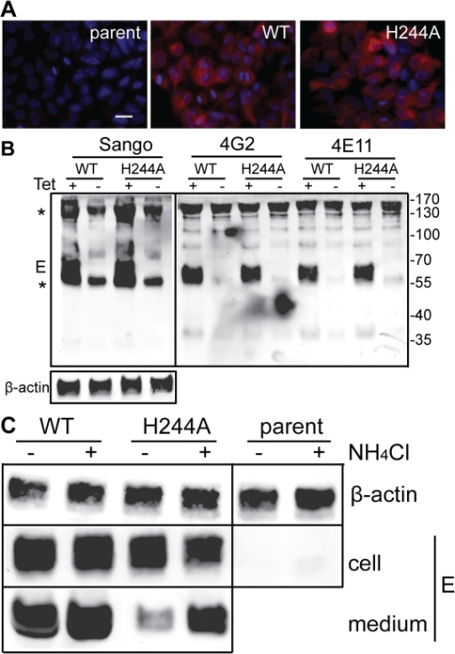 DENV E H244A mutation inhibits release of virus-like particles via a low pH-dependent mechanism.A) WT and H244A mutant E proteins are comparably expressed. Stable cells inducibly expressing the WT or H244A mutant forms of prM-E were treated with tetracycline for 36 h at 37°C. E protein expression was detected by immunofluorescence and the nuclei were stained with DAPI. Fluorescence images are shown at the same magnification and exposure time. Bar represents 30 µm. B) WT and H244A mutant E proteins are comparably immunoprecipitated by conformation-specific mAbs. Stable cells inducibly expressing the WT or H244A mutant forms of prM-E were treated with tetracycline for 36 h at 37°C. E proteins in the cell lysates were immunoprecipitated by Sango, a rabbit polyclonal antibody to DIII, and by the mouse mAbs 4G2 and 4E11, as indicated at the top of the panel. Samples were then analyzed by SDS-PAGE and western blot using mouse anti-DENV2 Ab for the Sango samples and Sango for the mAbs samples. Asterisks indicate the positions of the IgG and IgG heavy chain, which cross-react in the western blot. Equivalent sample input was evaluated by western blot for β-actin (lower panel). C) Effect of low pH on WT and H244A VLP production. WT and H244A mutant cells were incubated with tetracycline for 2 h and then in this medium plus 20mM NH4Cl where indicated for a total of 36h. VLP released in the culture media were pelleted by ultracentrifugation, and E proteins in the cell lysates were immunoprecipitated using mAb 4G2. VLP and lysate samples were analyzed by SDS-PAGE and western blot using Sango. 5-fold more culture media from the H244A cells than the WT cells were loaded. Data are representative examples of two or more independent experiments.