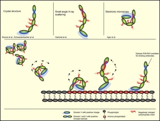 Anti Beta 2 Glikoprotein 1 Antikoru 4