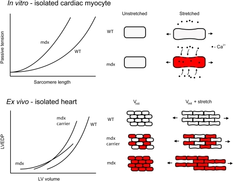 Simplified model for the mechanical properties of the dystrophic myocardium.Top, model for the increased stiffness of mdx myocytes. Stretch causes membrane permeability and influx of extracellular calcium, leading to unregulated contraction (indicated in red). Bottom, simplified model for the effects of dystrophin expression on myocardial compliance. In mdx hearts, membrane permeability may initially cause contraction of LV volume at normal LVEDP, resulting in a left shift in the LV volume-EDP curve. As volume is increased, loss of dystrophin leads to increased slippage of myocytes past one another, leading to increased compliance. This is corrected by expression of dystrophin in 50% of myocytes in mdx carrier females.