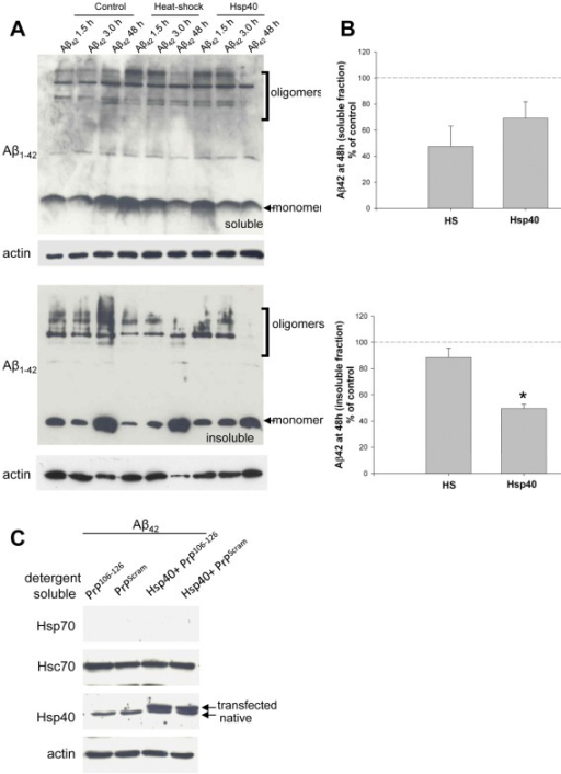 Transient transfection of Hsp40 reduces cellular Aβ42.(A) CAD cells were transiently transfected with Hsp40 as indicated for 24 hours prior to the addition of 3 µM Aβ42. Immediately following addition of Aβ42, indicated cells were subjected to heat shock at 43°C for 40 minutes and allowed to recover. At the indicated times cells were washed in PBS, lysed separated into soluble and insoluble fractions and cellular levels of Aβ42 were determined by Western analysis. Actin is shown as a loading control (B) Quantification of three independent experiments. *p<0.05. (C) Western analysis of CAD cells transfected with Hsp40 as indicated prior to incubation with 3 µM Aβ42 or 0.5 µM PrP106−126 or scrambled control. Data are representative of 4 separate experiments.